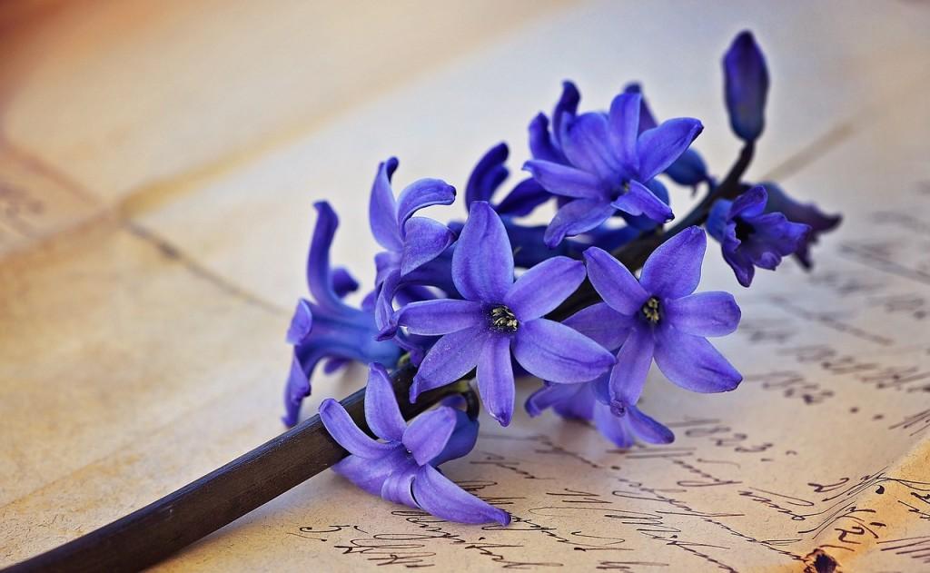 hyacinth-787679_1280