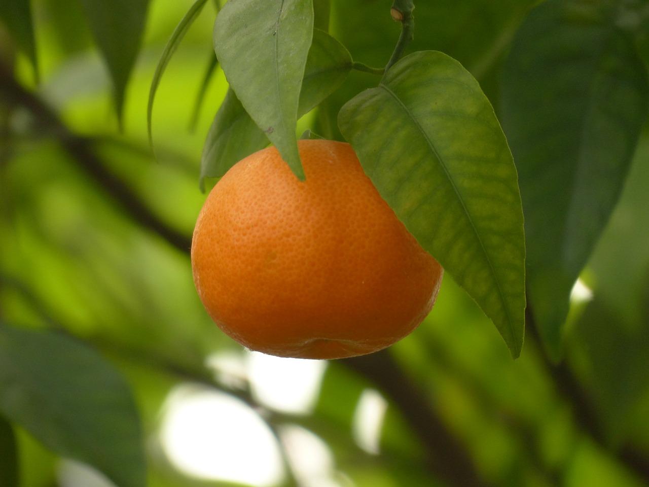 mandarin-93684_1280