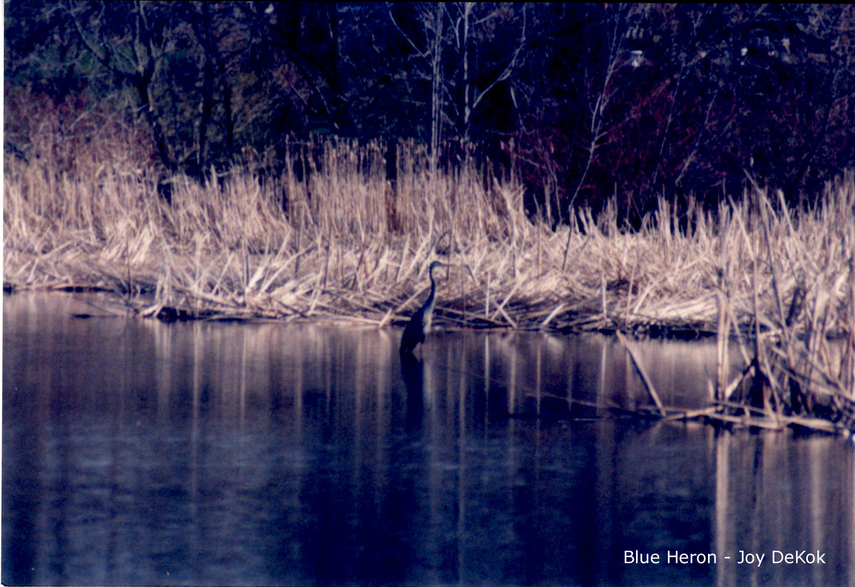Blue Heron {Excerpt from Under His Wings – Lessons Learned From God While Watching the Birds}