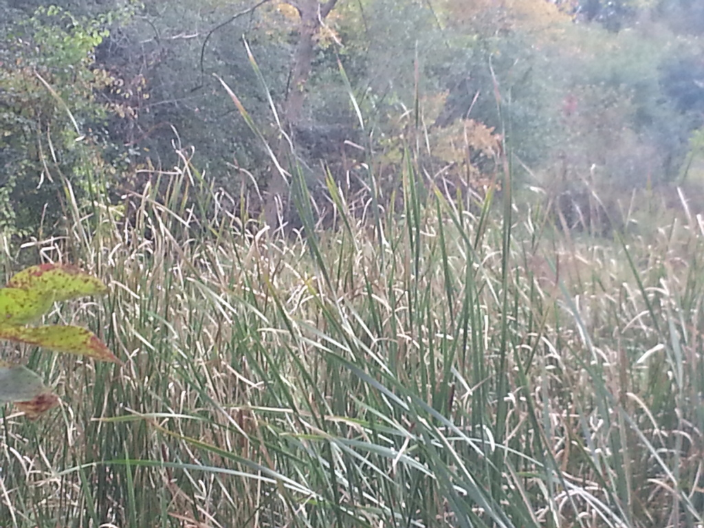 DeKok Pond Cattails 2