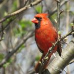 signed-cardinal-180-dpi-4608x3456-pixals