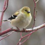 goldfinch-oct-2016-300-dpi-4x6