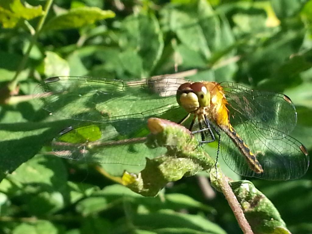 Dragonfly Closeup 2