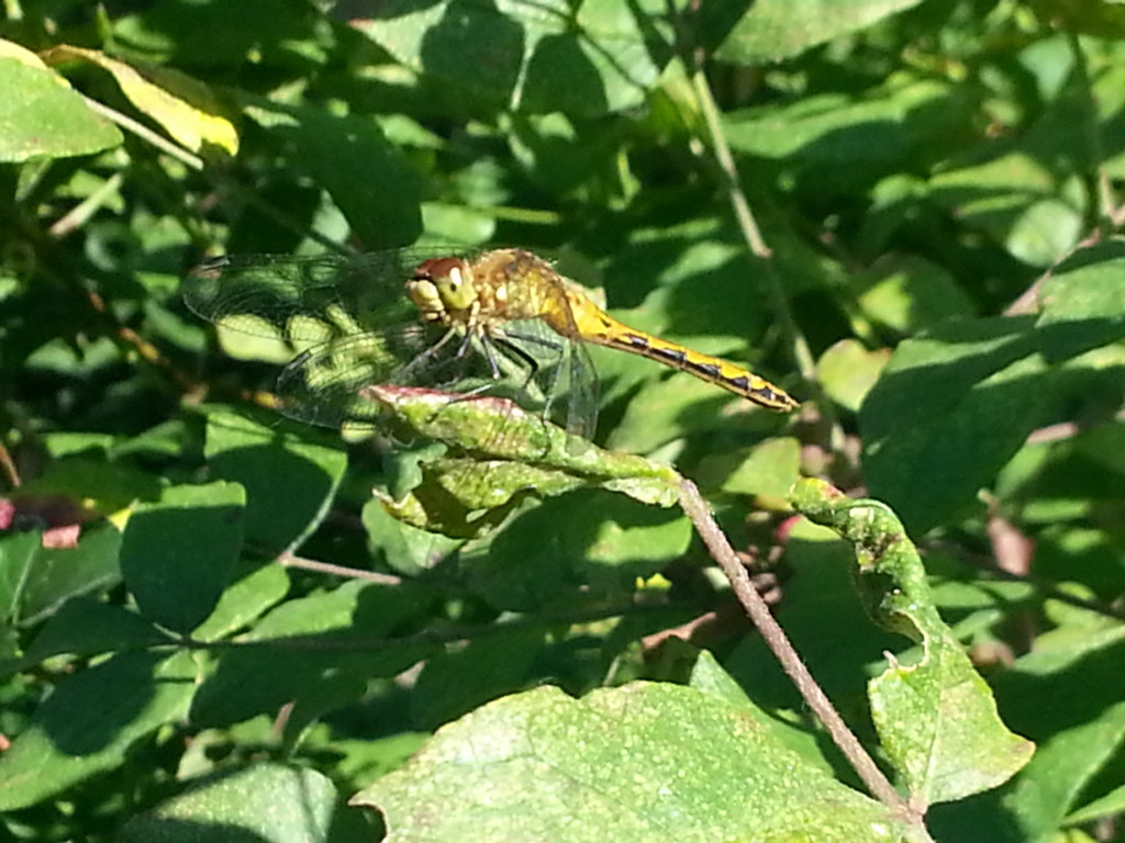 Dragonfly Closeup 3