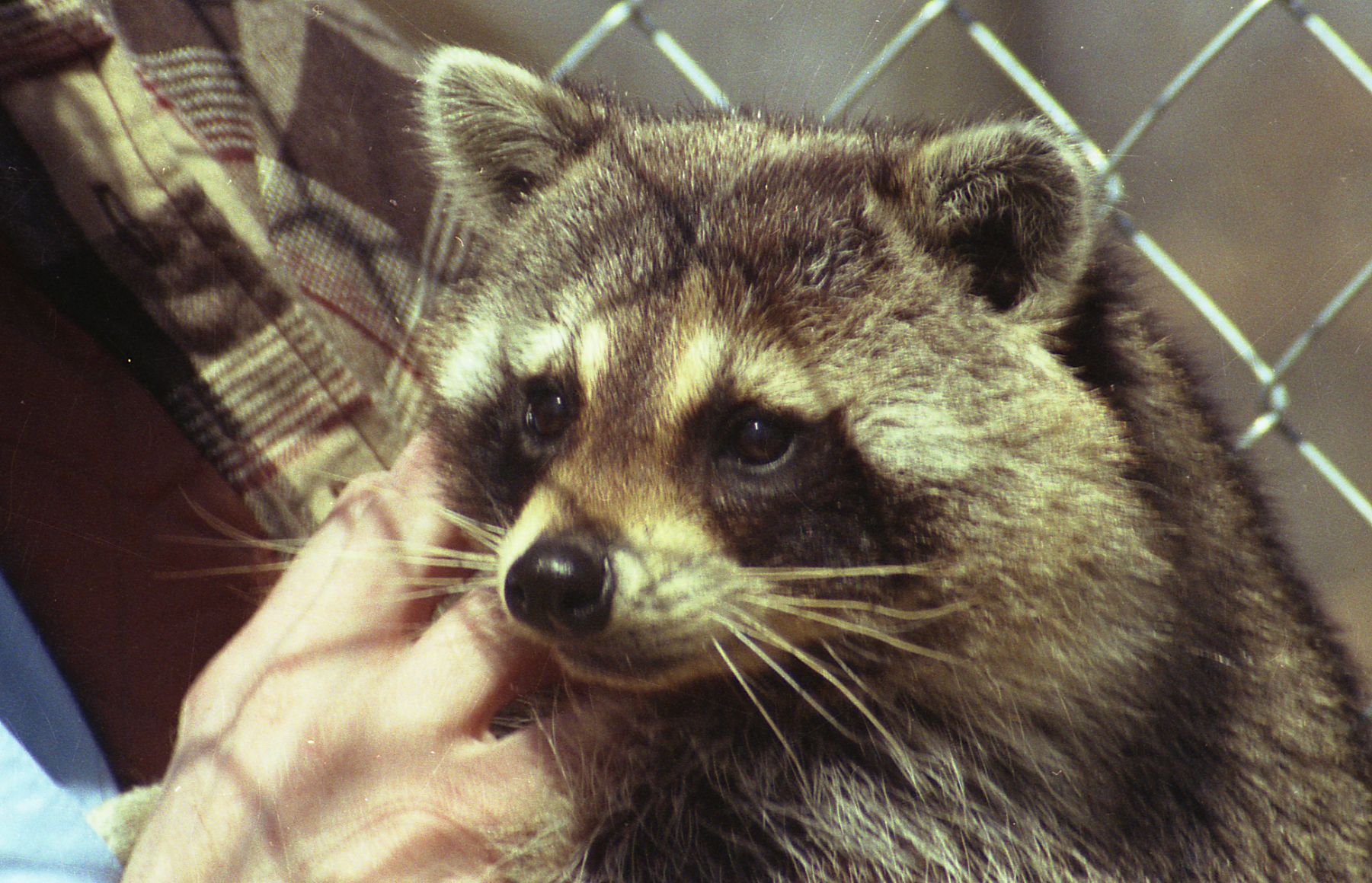 The Raccoon Who Rang the Bell – A Legacy Story