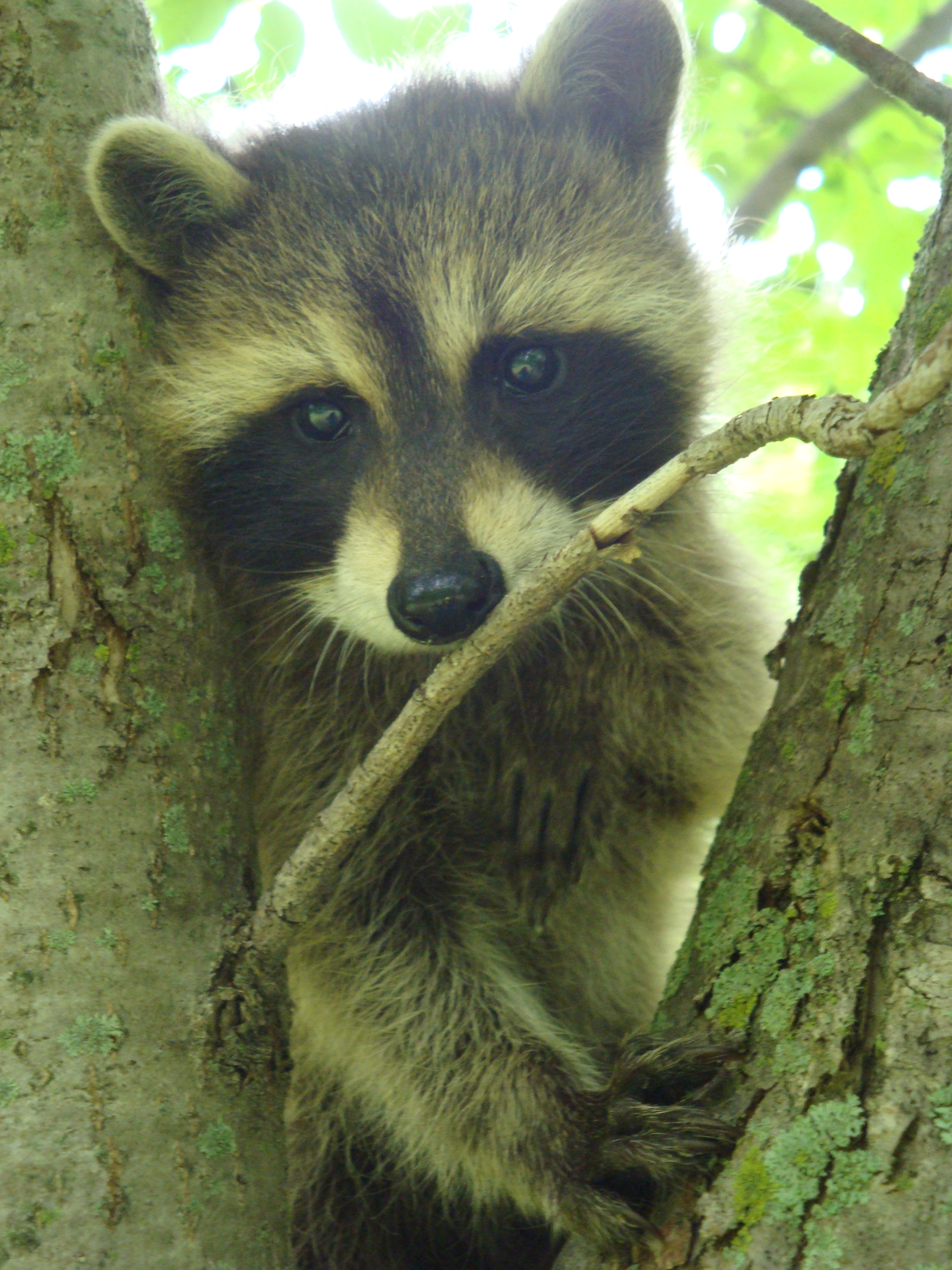 Bless Me! {a raccoon story}