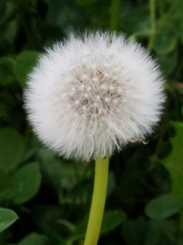 Dandelion Fluff, Joy DeKok