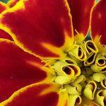 marigold-joydekok-2018-11-x-14