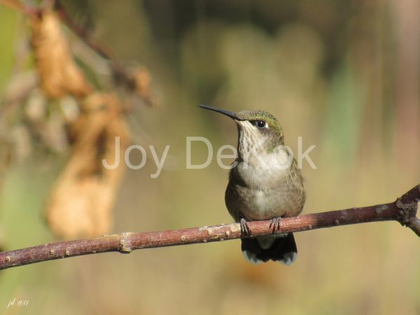 beautiful-sept-hummer-201711x14-300-dpi-joydekok