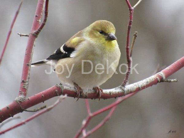 goldfinch-oct-2016-300-dpi-11x14