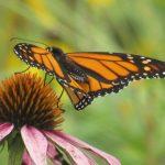 monarch-8-21-2018-joydekok