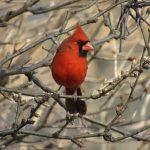 redbird2018joydekok-2