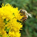signed-bumblebee-goldenrod-sept-2017-joydekok