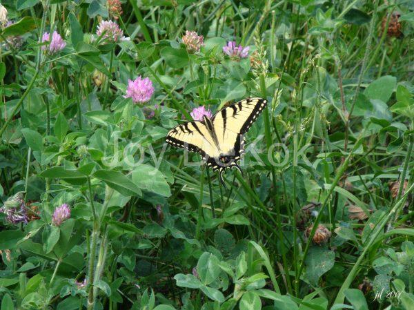 signed-swallowtail-2017-300dpi-joydekok