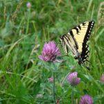 swallowtailclover-joydekok-2018-5-x7