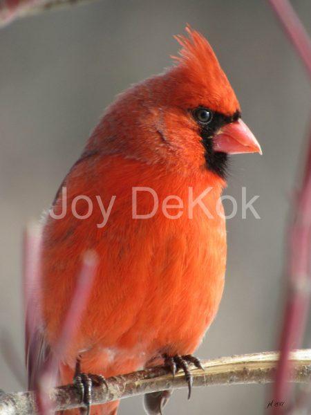 cardinal-300dpi-5x7